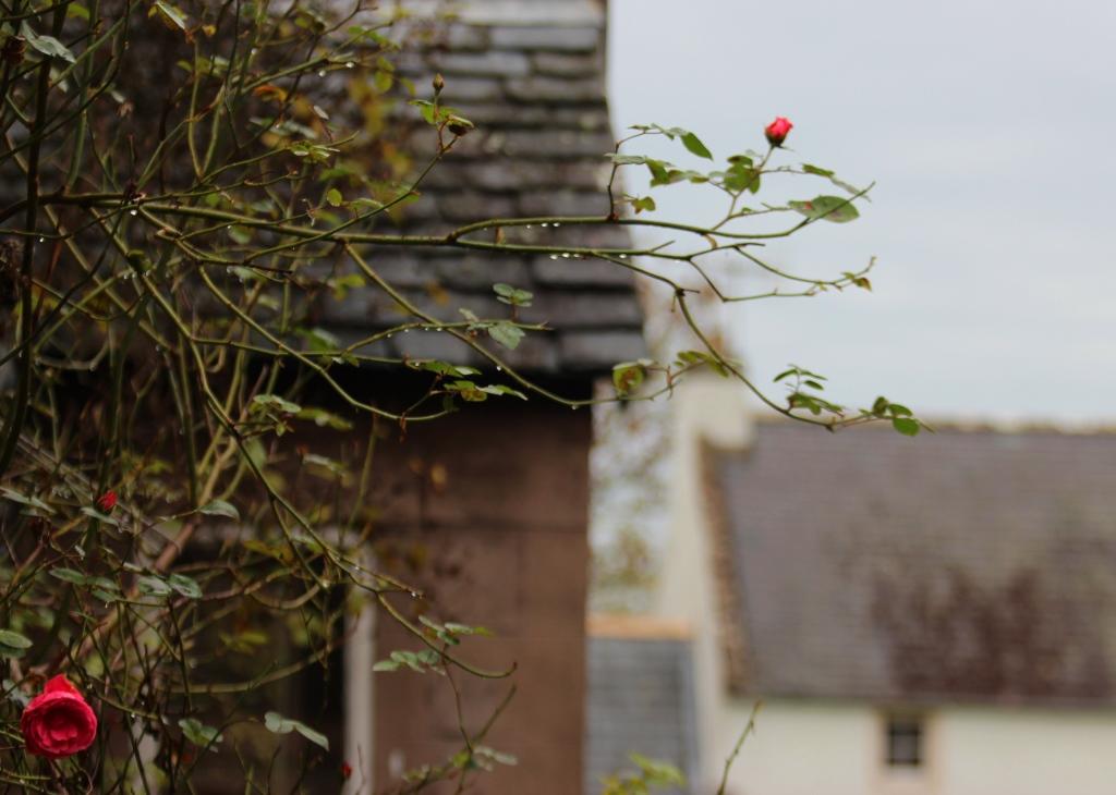 roses in october